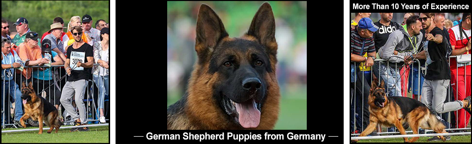 German Shepard Puppies from Germany